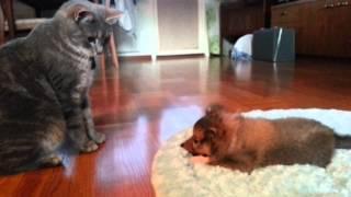 Shetland Sheepdog Puppy Vs Cat