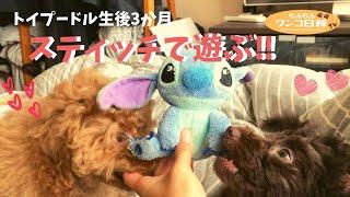 いつも元気なトイプードルの子犬ピーチくん&タバスコちゃん♡今日も大好きなスティッチのぬいぐるみで遊びまくり。