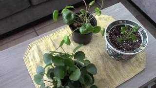 There are Two Kinds of Pilea Peperomioides
