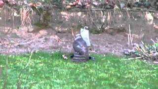 The sudden death from the sky: Hawk vs blackbird
