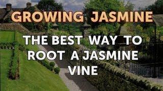 The Best Way to Root a Jasmine Vine