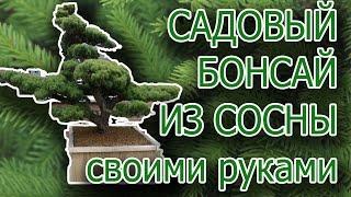 Садовый бонсай НИВАКИ из СОСНЫ Крымской