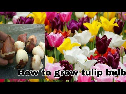 How To Grow Tulip Bulb || टुलिप के बल्ब लगाने का आसान तरीका