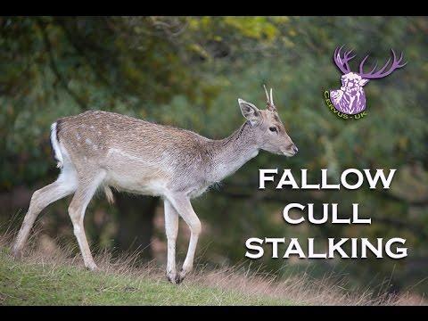 FALLOW DEER CULL STALKING