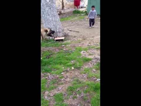 Kangal ile çocuğun güreşi :))