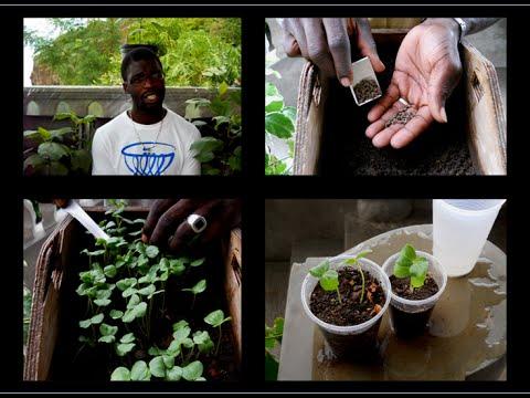GROWING SORREL/ROSELLE SEEDS BY SPREADING METHOD | Agrosuede