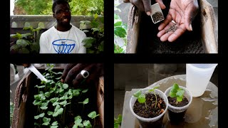 GROWING SORREL/ROSELLE SEEDS BY SPREADING METHOD | Agrosuede
