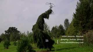 Picea omorika 'Pendula' video