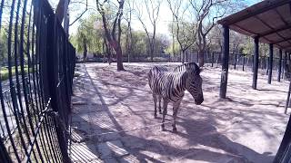 Зебра на большой территории за высоким ограждением в зоопарке