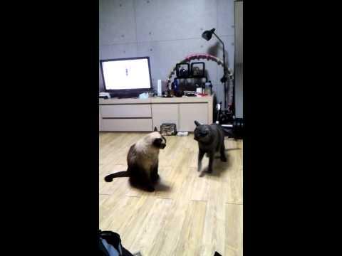 샴 고양이와 러시안블루 싸움