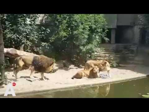 Leeuw is reiger te snel af in Artis