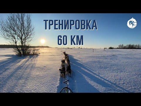 Тренировка ездовых собак «Уроборус» 60 км 12 собак   Аляскинские хаски