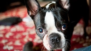 Boston Terrier Potty Training Tips - Free Mini Course