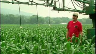 Sweet Corn -  Williams Farm, S. Deerfield, MA