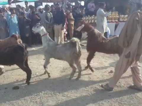 Dancing gait breed of goats, Nachi in Pakistan at Fazil pur Mela