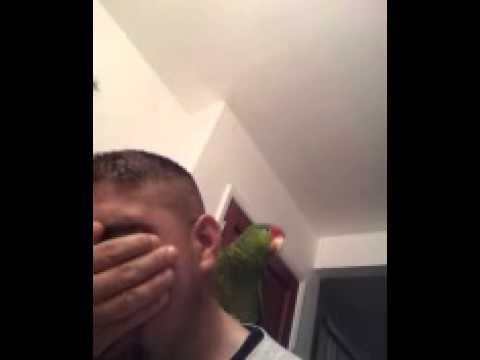 red head amazon parrot laughing