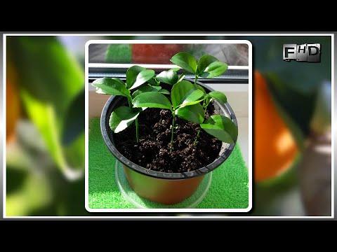 Как вырастить дома мандарин из косточки (часть-2) Первые всходы мандарина