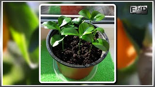 Как вырастить дома мандарин из косточки (часть-2)