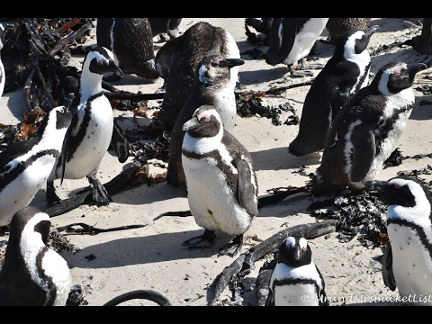 Swimming with African penguins - Boulders Beach, Cape Town