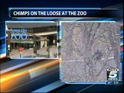 Chimps Loose In Kansas City Zoo