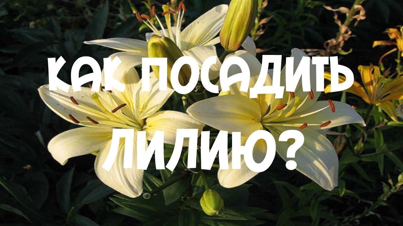 Можно ли сажать тюльпаны весной? Цветы Дача 55