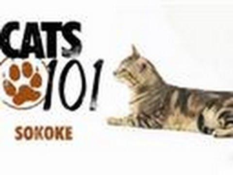 Sokoke | Cats 101