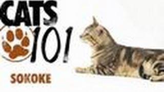 Sokoke   Cats 101