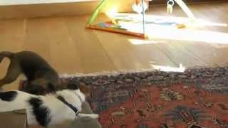 Border Terrier Puppy And Jack Russell Play Fighting
