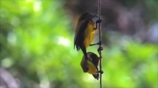 How to Build a Sunbird Nest in 90 Seconds