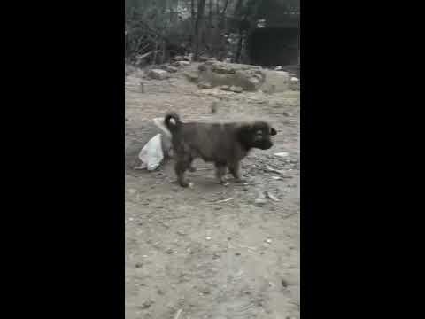Bakarwal Dogs