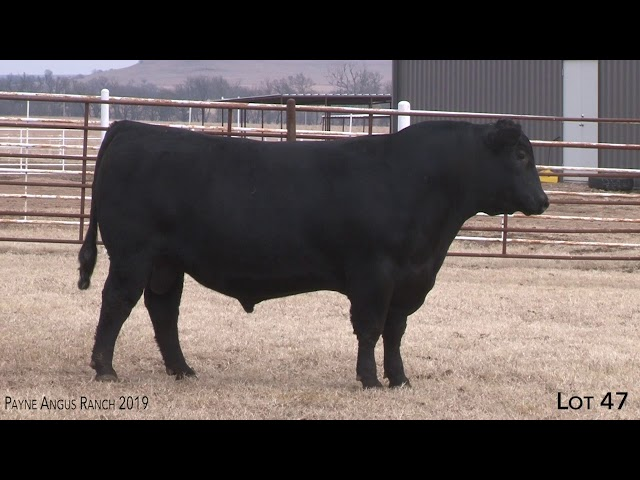Payne Angus Ranch Lot 47