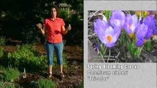 Planting Saffron Crocus