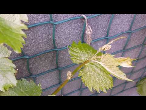 Growing Grape variety Phoenix: The Movie