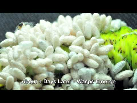 how to kill cabbage worms organically