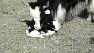 http://www.theYakRanch.com A young Royal Yak mom talks to her baby ...