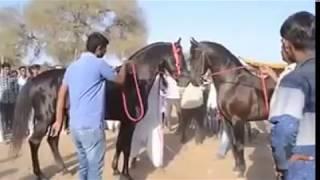 Marwari Stallion (Horse) ring at Mega Horse Show Jasra - 2017 Gujarat