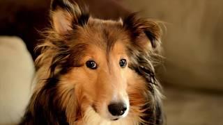 САМЫЕ КРАСИВЫЕ СОБАКИ! 10 Самых НЕВЕРОЯТНЫХ пород собак.