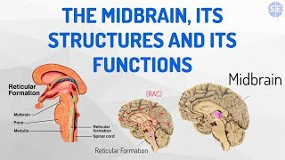 [Psychology] The Nervous System #05: The Midbrain, Its Structures And Its Functions