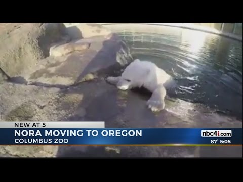 Nora the Polar Bear being moved to Oregon Zoo