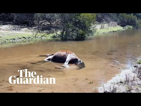 Images of dead and starving brumbies prompt fresh calls for NSW cull