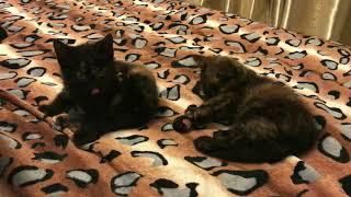 Черепаховый окрас котят (необычный цвет) Синхронное умывание кошек