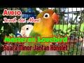 Masteran Lovebird Minor Jantan Konslet  Mp3 - Mp4 Download