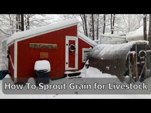 3BHow2:  How To Sprout Grain For Livestock