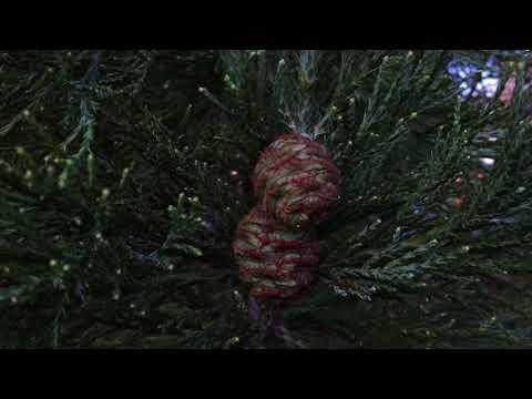 Giant redwood (Sequoiadendron giganteum) - female cones - January 2018