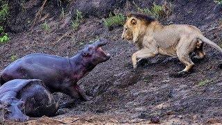 Бегемот в деле! Бегемот против льва, крокодила, слона...