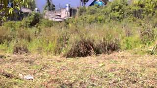 Ethnic Old Man Is Cutting Wild Grass In Sapa P.i