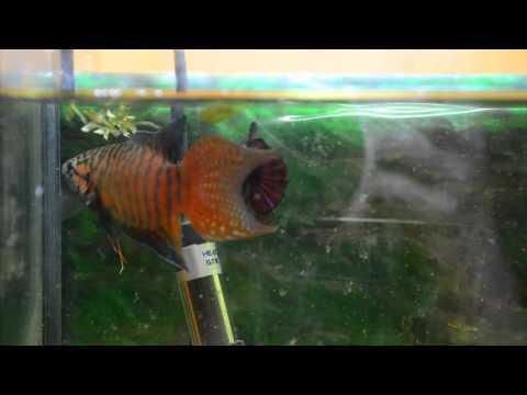 叉尾鬥魚(蓋斑鬥魚)對泰國鬥魚 Paradise Fish Vs Betta