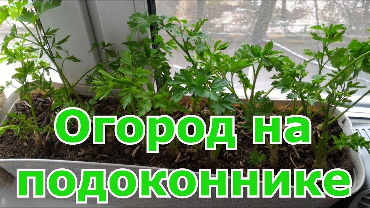 Посадка и уход за укропом на подоконнике, как вырастить ароматную зелень в горшке рекомендации