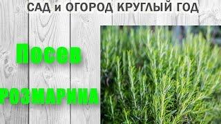 Розмарин. Как вырастить розмарин из семян