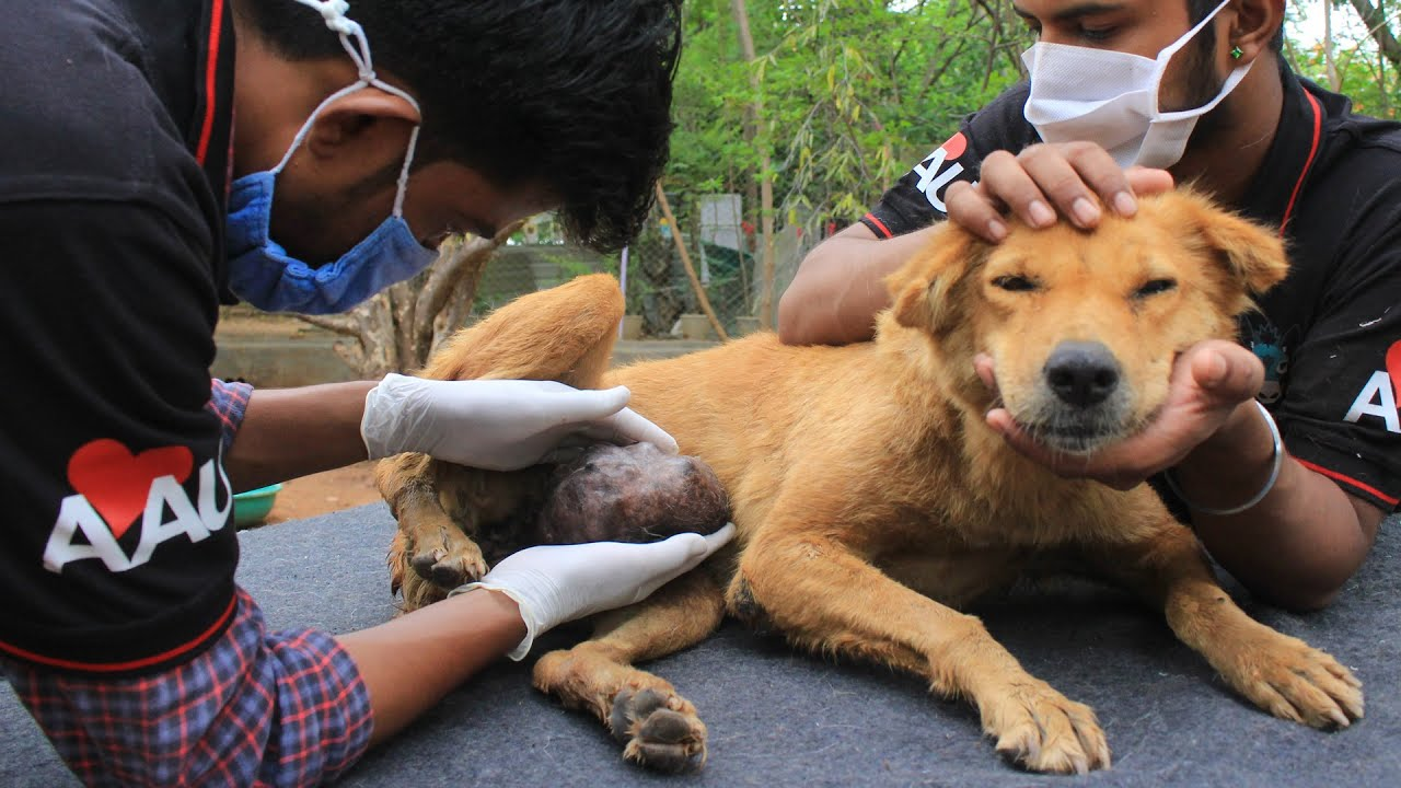Surgery saves street dog with huge tumor.